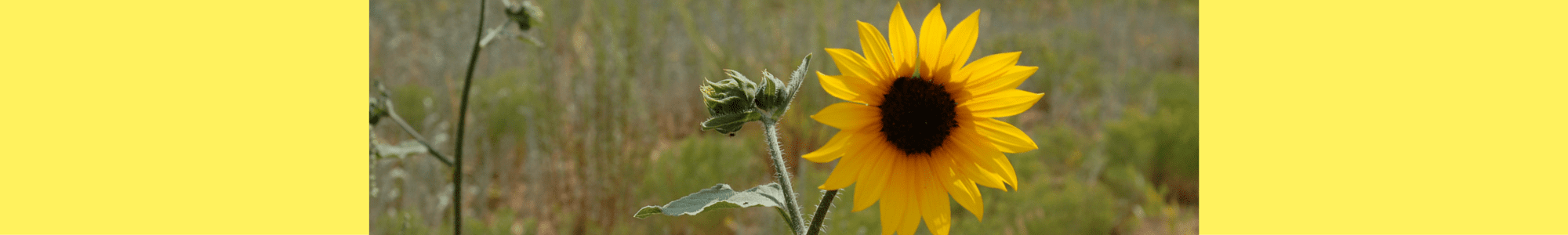 yellow daisy header