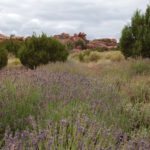 Red Rock Lavender Festival in Concho, Arizona
